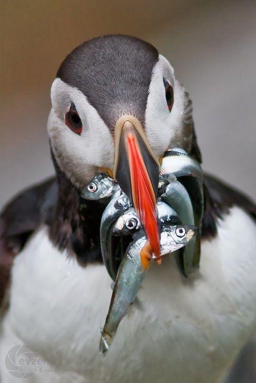 pinguin come peces pequeños